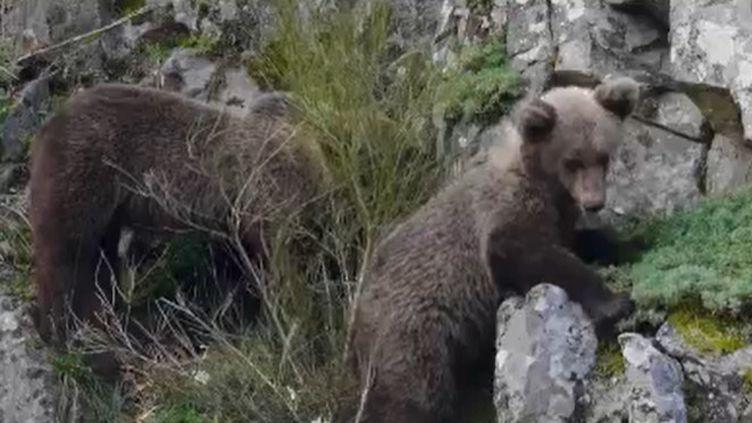 En France, la population des ours augmente. Ils restent cantonnés aux Pyrénées où la cohabitation avec les éleveurs est compliquée alors qu'elle se passe très bien en Espagne. Quel est le secret de cette harmonie espagnole ? (FRANCE 2)