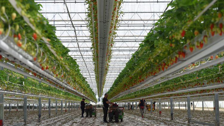 Les fraisiculteurs sont particulièrement dépendant de la main d'œuvre étrangère. (NICOLAS TUCAT / AFP)