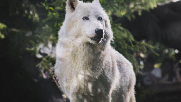 Le corps d'un loup blanc a été retrouvé après le passage de la tempête Alex à Saint-Martin-Vésubie dans les Alpes-Maritimes le 3 octobre 2020 (photo d'illustration). (MELVIN TURPIN / RADIO FRANCE)