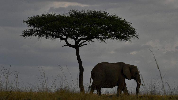 Un éléphant africain, dans le parc de Masai Mara, au Kenya, en septembre 2016. (CARL DE SOUZA / AFP)