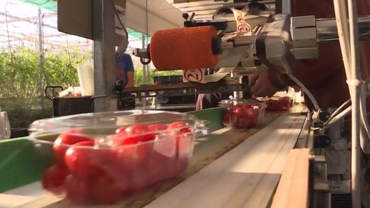 Des tomates cerises collectées avant d'être distribuées aux Restos du cœur et l'Armée du Salut. (FRANCE 3)