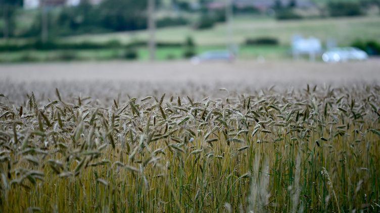 Les pluies inhabituelles du début d'été 2021 ont des conséquences sur les champs de blé. Les épis sont plus lourds, tombent et germent, comme ici, dans la région de Roanne. (REMY PERRIN / MAXPPP)
