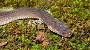 Un serpent acr-en-ciel, découvert au Laos. (ALEXANDRE TEYNIE / AFP)