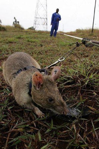 Sur un périmètre délimité par les maîtres-rats, les rongeurs traquent le moindre explosif. (AFP PHOTO/YASUYOSHI CHIBA)