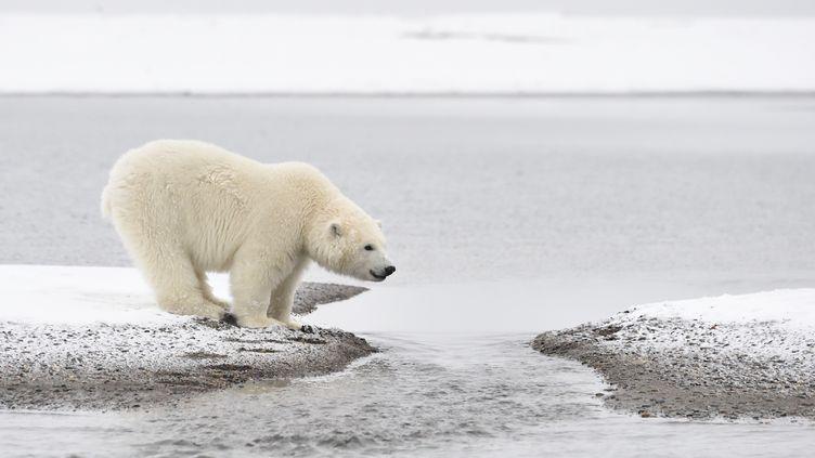 Un ourson polaire sur la côte de l'île de Barter (Alaska, Etats-Unis), le 30 mars 2015. (PATRICK KIENTZ / BIOSPHOTO / AFP)