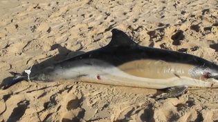 Depuis le début de l'année, pas moins 600 cétacés, majoritairement des dauphins se sont échoués surla côte atlantique. Un triste record, lié notamment aux techniques utilisées par certains pêcheurs. (france 2)