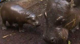 Le zoo de Melbourne (Australie) a présenté, dimanche 7 juin 2015, un bébé hippopotame pygmée, né quinze jours auparavant. (REUTERS / FRANCETV INFO)