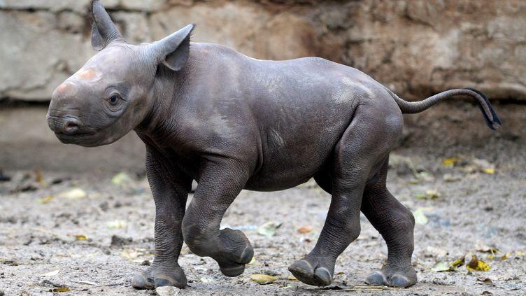 Un bébé rhinocéros au zoo de Berlin, en Allemagne, le 24 octobre 2014. (BRITTA PEDERSEN / DPA / AFP)