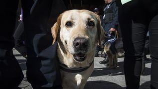 Un chien policier le 7 décembre 2016, à Mexico (Mexique), lors d'une cérémonie de départ en retraite de chiens policiers. (OMAR TORRES / AFP)