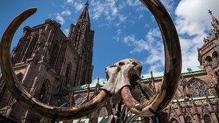 Du 3 au 13 mai 2018, le squelette de mammouth installé place du Chateau à Strasbourg s'offre des show aquatiques en public  (PATRICK HERTZOG / AFP)