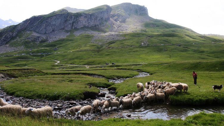 La transhumance sur le plateau du Bénou dans le Béarn.  (MAXPPP)