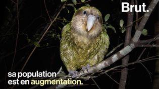 Surnommé le perroquet-hibou, le kakapo est une espèce endémique de la Nouvelle-Zélande. (BRUT)