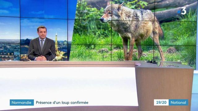 Seine-Maritime : Le loup est de retour