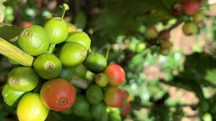 Cerises de café. A Madagascar, quelques producteurs proposent un café hors norme. (CLAREL FANIRY RASOANAIVO / X07039)