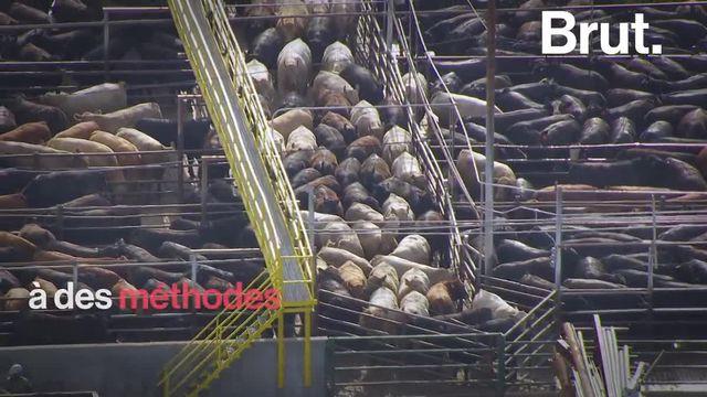 Plusieurs associations de protection des animaux dénoncent des conditions inhumaines.