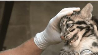 Âgés de deux mois, les deux petits félins ont été séparés de leur maman afin de passer une visite médicale. (FRANCE 2)