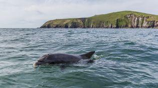 Le dauphin Fungie et la péninsule de Dingle (Irlande), en 2014. (MICHAEL NOLAN / ROBERT HARDING PREMIUM VIA AFP)
