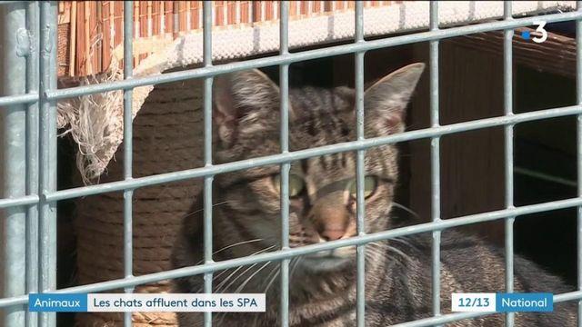 Animaux : les chats affluent dans les SPA