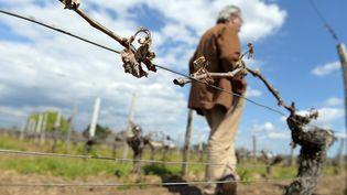 Le vignoble bordelais a été particulièrement touché par les intempéries qui ont touché les vignes au mois d'avril. Ici, à Vignonet, près de Saint-Émilion, début mai. (NICOLAS TUCAT / AFP)
