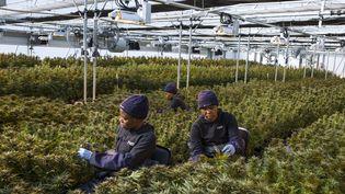 Cueillette de cannabis près de Marakabei, au centre du Lesotho, le 6 août 2019. (GUILLEM SARTORIO / AFP)