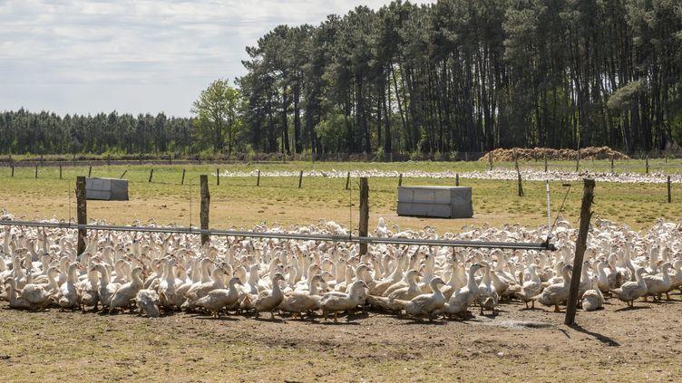Un élevage de canards en Vendée, le 5 mai 2017. (MAXPPP)