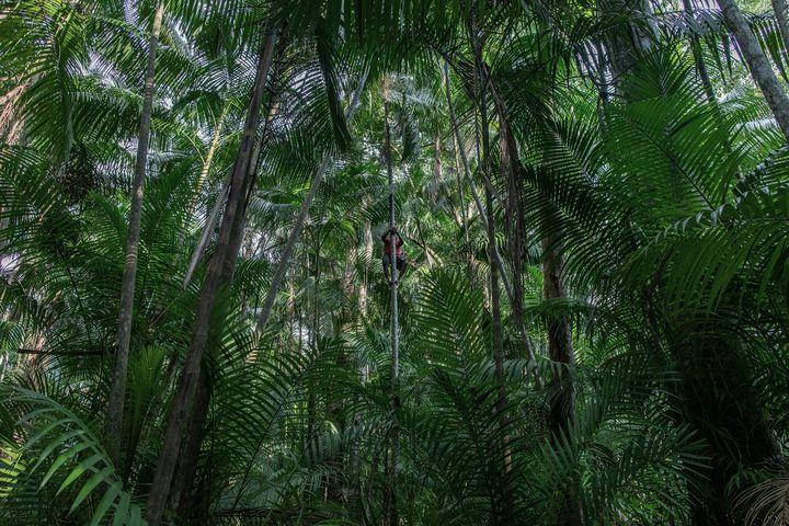 """Un homme à l'ascension d'un palmier dans l'Île de Combu, au Brésil. Une photo de Victor Moriyama dans le cadre de l'exposition """"La déforestation de l'Amazonie"""". (Victor Moriyama pour The New York Times)"""