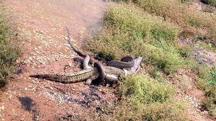 Le crocodile et le python à la lutte le 3 mars 2014 près du lac Moondarra (Australie). (TRAVIS CORLIS / TNT CORLIS)