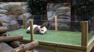 Yuan Meng, le bébé panda du zoo de Beauval (Loir-et-Cher). (THIBAULT CAMUS / POOL)