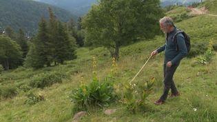 Voyage dans le massif du Cantal, petit paradis des randonneurs. Ils sont près de 500 000 chaque année à emprunter les sentiers du GR400, sur les flancs sur plus grand volcan d'Europe. En chemin, les amoureux de la nature rencontrent des marmottes et des producteurs de fromages au savoir-faire ancestral. (France 2)