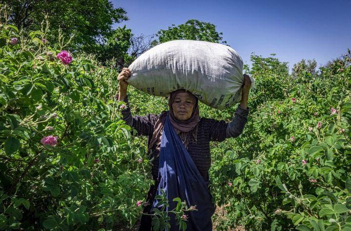 Un ballot de 20 kilos sur la tête, le produit de six heures de récoltes. (FADEL SENNA / AFP)