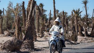 Grande palmeraie de Skoura, au Maroc. Un homme à moto passe devant des palmiers desséchés par le manque d'eau. Photo prise le 27 Janvier 2020. (FADEL SENNA / AFP)