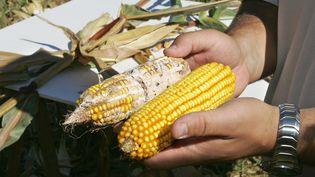 Un agriculteur près de Marmande (Lot-et-Garonne) présente un épis de maïs attaqué par la pyrale, un insecte invasif. (DERRICK CEYRAC / AFP)