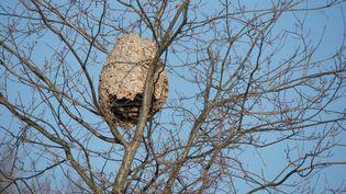 Cliché d'un nid de frelons asiatiques accroché en hauteur dans un arbre, dans les Landes. (PAUL BRACQ / BIOPHOTO / AFP)
