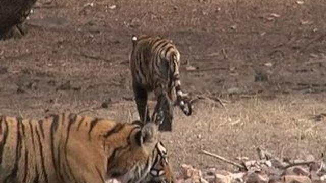 Rajasthan : incroyable voyage au pays des tigres
