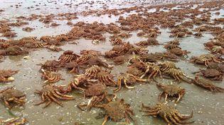 Un phénomène étonnant a été observé dans les Côtes-d'Armor : un échouage massif d'araignées de mer.  (FRANCE 3)