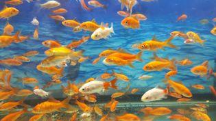 L'aquarium du Trocadéro, à Paris, accueille les poissons rouges des particuliers (illustration). (KATHERINE DELACRUZ / EYEEM)