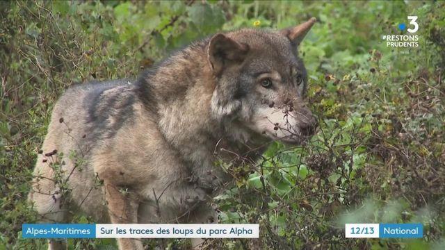 Tempête Alex : à la recherche des loups échappés d'un parc après les intempéries