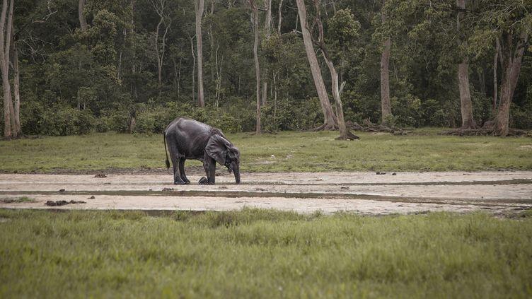 Dans la réserve de Dzanga-SanghaenCentrafrique (FLORENT VERGNES / AFP)