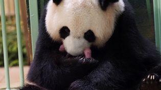 La femelle panda Huan Huan tient ses deux bébés après leur naissance, le 2 août 2021 au ZooParc de Beauval (Loir-et-Cher). (GUILLAUME SOUVANT / AFP)