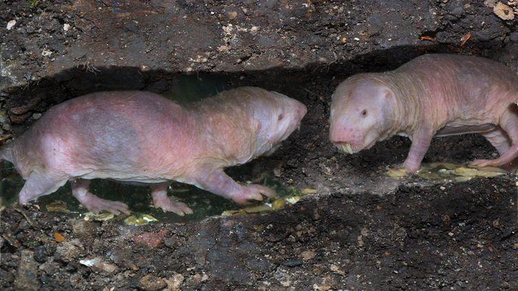 Le rat-taupe (H. SCHMIDBAUER / BLICKWINKEL)