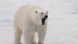 Un ours polaire dans le nord de l'île du Spitzberg, en Norvège, le 22 janvier 2016. (GERARD BODINEAU / BIOSPHOTO / AFP)