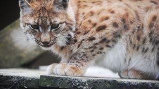 Un lynx jeune dans le centrede sauvegarde de la faune sauvage Athénas, basé à L'Étoile (Jura), le 29 mai 2013. (MAXPPP)