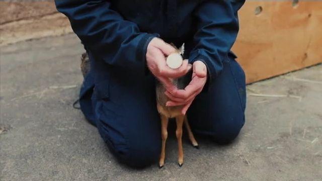 Thanos, le bébé antilope orphelin, bouge son nez