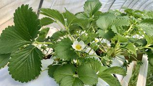 Un fraisier en fleurs en Dordogne. (EMMANUEL CLAVERIE / FRANCE-BLEU PÉRIGORD)