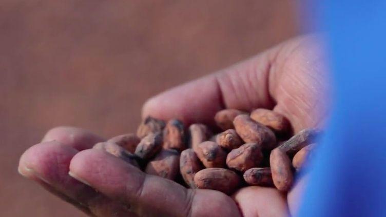La culture des fèves de cacao est en plein boom en Inde. Certaines exploitations pratiquent une agriculture sans pesticides, pour des produits de grande qualité. (FRANCE 2)
