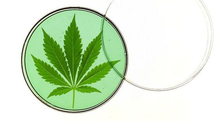 Feuille de cannabis dans une boîte de Petri (VICTOR DE SCHWANBERG/SCIENCE PHO / VSC / SCIENCE PHOTO LIBRARY)