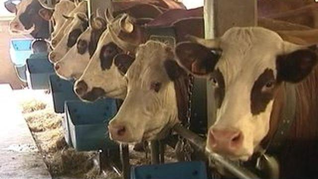 Les troupeaux du Grand-Bornand prennent la direction des Alpages