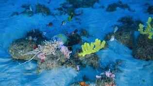 Des coraux et des poissons sont photographiés par une mission scientifique de Greenpeace sur le récif corallien de l'Amazone, au large du Brésil, le 28 janvier 2017. (GREENPEACE BRAZIL)
