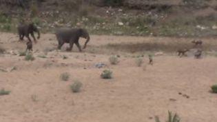 Capture d'écran montrant les trois éléphantsface à la dizaine de hyènes àIngwelala, une réserve naturelle non loin du parc Kruger (Afrique du Sud), janvier 2016 (CATERS CLIPS / YOUTUBE)