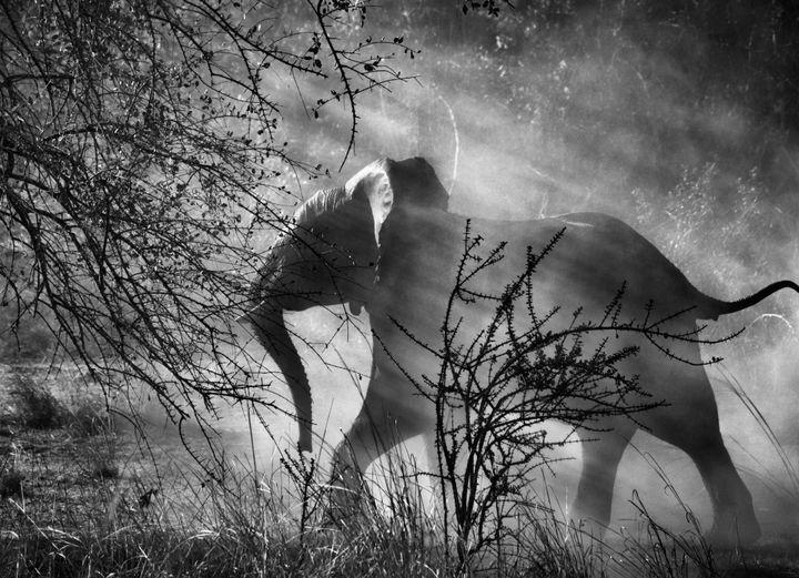 En Zambie, pourchassés par les braconniers, les éléphants ont peur des humains et des véhicules. Dès qu'ils voient une voiture approcher, ils fuient pour se cacher dans le bush. Parc national de Kafue, Zambie, 2010.  (Sebastião Salgado)